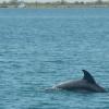 Черноморский дельфин встречает