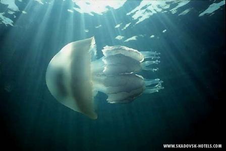 Вот она какая - медуза (корнерот)