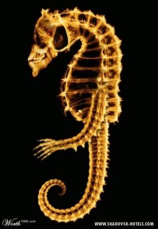 морской конёк-чужачок