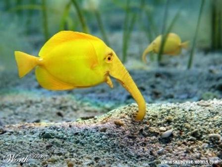 Рыба слоник