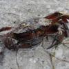 Морской краб на Джарылгаче - рад знакомству :)